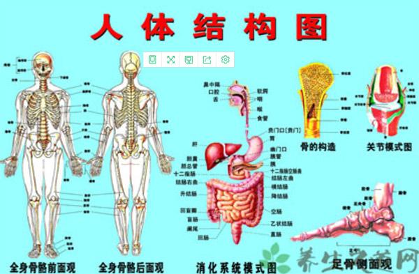 人体器官简图 结构图